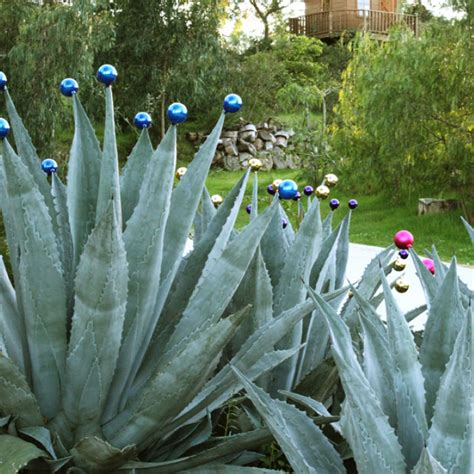 southern california succulents southern california gardening add drama with succulents