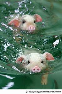 Just keep Swimming Little Pig - The Meta Picture