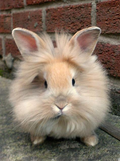 lionhead bunny rabbits  cincinnati  rabbits