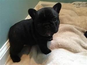Black french bulldog | Love Me...Love My Dog | Pinterest