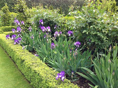 neat buxus beds with bearded iris and roses garden