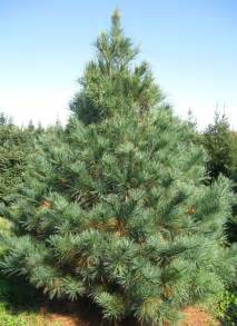 Canaan Fir Christmas Tree Care by White Pine