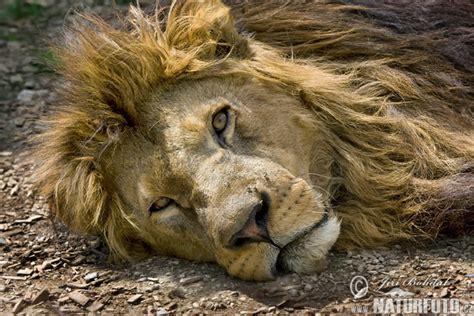 Lauva Fotogrāfijas, Bildes