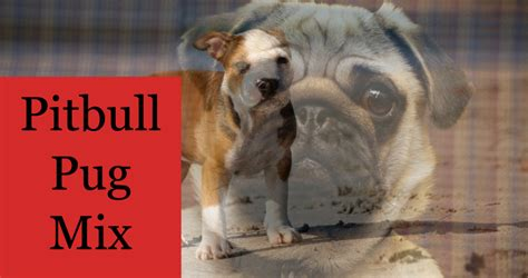 What Should You Expect From A Pitbull Pug Mix?