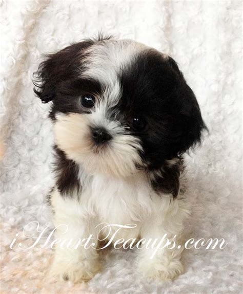 malshi puppy  pics iheartteacups