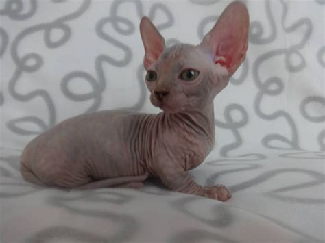 Bambino And Sphynx Kittens  Ilford, Essex Pets4homes