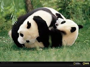 Unique Wallpaper: Amazing Pandas