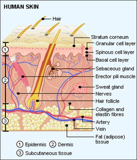 skin biology and structure mydr com au
