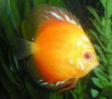 red marlboro discus  aquatic den
