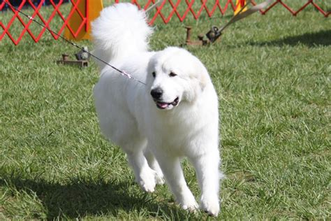 great pyrenees information great pic pyrenees great
