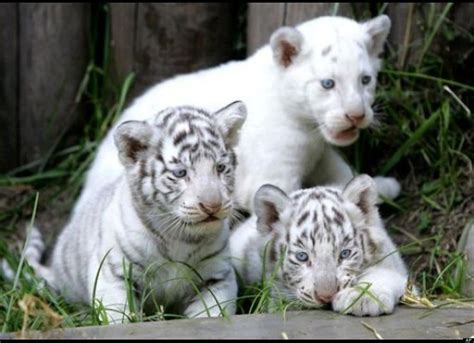 Images About White Tigers Unique Beautiful