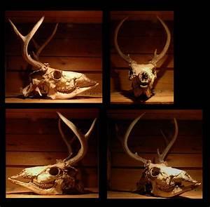 Deer Skull By