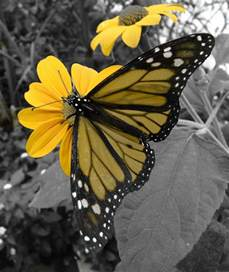 Yellow Flowers and Butterflies
