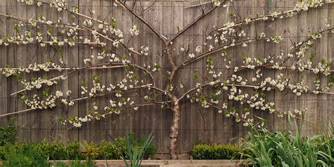espaliered trees espalier fan trained fruit trees for sale