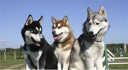 Husky Siberian Dog Standards Petssync