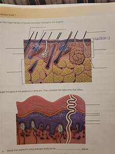 Solved  Review Sheet 7 El The Integumentary Structures And