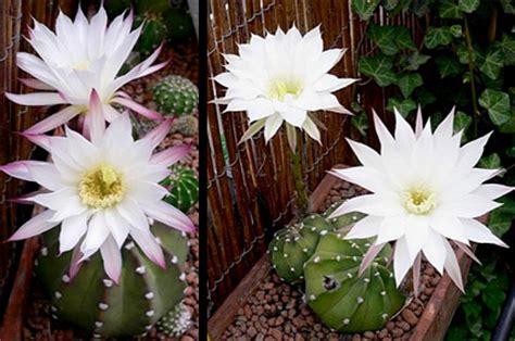 cactus exterieur resistant au froid 28 images craquez pour le cactus ch 226 telaine cactus
