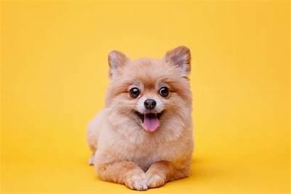 Pomeranian Teacup Spitz Dog Background Guide Puppy
