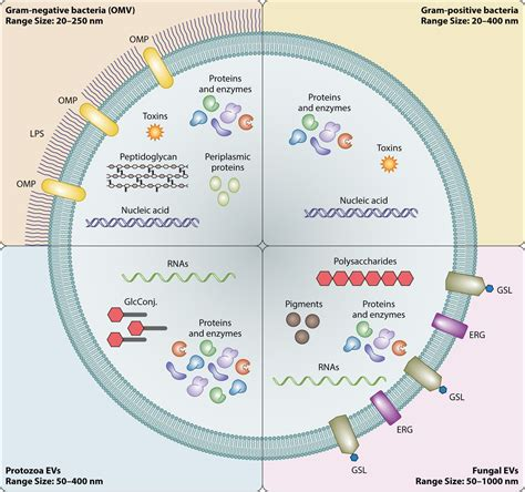 potential roles  fungal extracellular vesicles