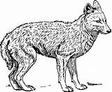 Coloring Pages Jackal Clipart Animal Animals Coyote Printable Fox Adults Wolf Clip Transparent Svg Vector Preschool Webstockreview Biology Mammal Domain sketch template