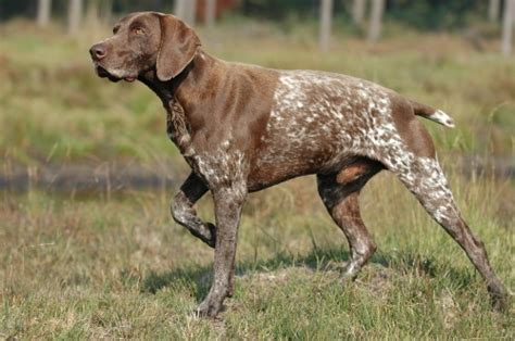 German Shor Red Pointer
