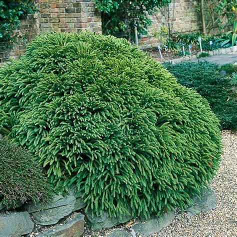 shrub image shop 2 25 gallon insignificant dwarf cryptomeria lw02535 at lowes com