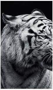 white tigers wallpaper - HD Desktop Wallpapers | 4k HD