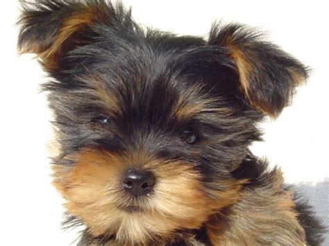 canapé pour chiens elevage de yorkshires