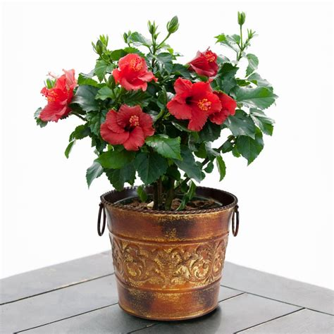 hibiscus in rustic tin container with handles flowering
