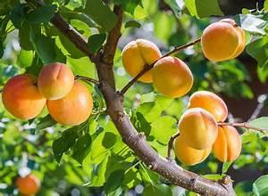 Taille De L Abricotier : abricotier culture entretien et r colte des abricots ~ Dode.kayakingforconservation.com Idées de Décoration