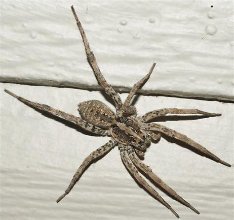 family lycosidae wolf spiders hogna bugguidenet