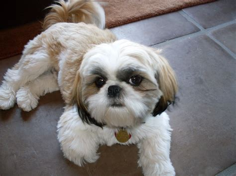 Shih Tzu Dog Breed Information And Pictures All About Dogs