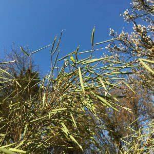 Bambus Im Winter : native plants gartenblog alles rund um garten und pflanzen ~ Frokenaadalensverden.com Haus und Dekorationen