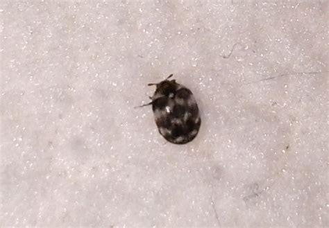 Black Carpet Beetles, Centipedes And Phorid Flies Pet Stain Carpet Cleaning Vax Guard Service Henderson Nv Van Gelder Kirby Shampoo Substitute Greenville Outlet Automotive Jute Padding Wool Moth Infestation