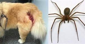 Faire Fuir Les Araignées : attention les chiens ne sont pas non plus pargn s par l araign e violon soigner son chien ~ Melissatoandfro.com Idées de Décoration