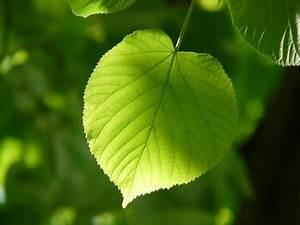 Linde Baum Steckbrief : 1000 interesting leaf photos pexels free stock photos ~ Orissabook.com Haus und Dekorationen
