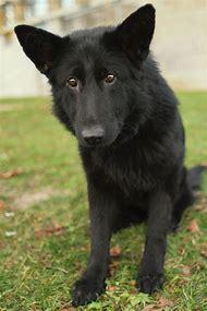 Black German Shepherd Wolf Mix