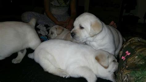 view ad labrador retriever litter  puppies  sale