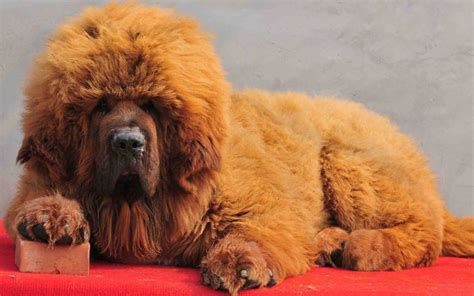 tibetan mastiff dogs photo collection tibetan mastiff