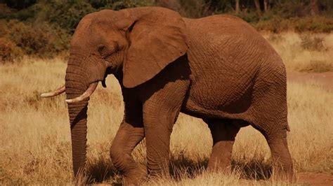 animal sounds elephant trumpet youtube