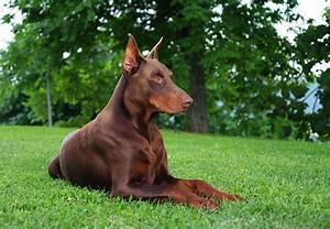 Get To Know The Doberman Pinscher Semper Fi Do