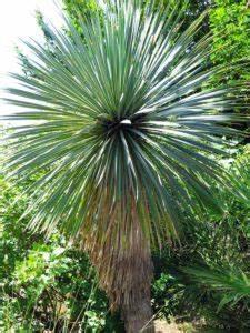 Yucca Palme Winterhart : yucca palme info pflege empfehlungen alles ber die yucca ~ Frokenaadalensverden.com Haus und Dekorationen