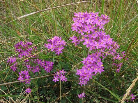 acquistare fiori di bach floriterapia fiori di bach centaury erythraea