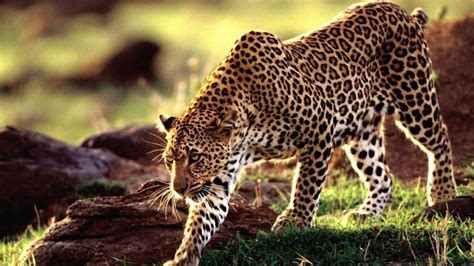 Beautiful Leopard Pictures, Photos, and Images for