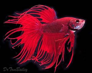 Red Crown Tail (Electric Blue) Betta | Betta Siamese ...