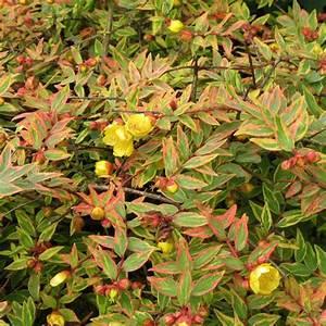 Plantes Et Jardin : millepertuis 39 tricolor 39 plantes et jardins ~ Melissatoandfro.com Idées de Décoration