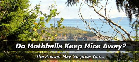 Do Mothballs Keep Mice Away How To Get Rid Of Mice