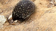 Echidna, spiny anteater. - YouTube