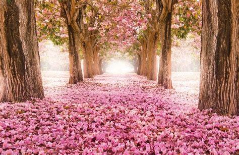 alberi con fiori rosa murales alberi fiori rosa