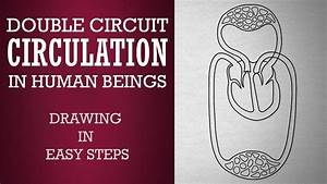 How To Draw Double Circuit Circulatory System In Human